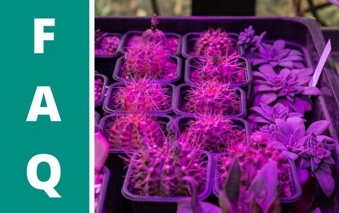 Sukkulenten werden unter einer Pflanzenlampe auch im Winter etwas.