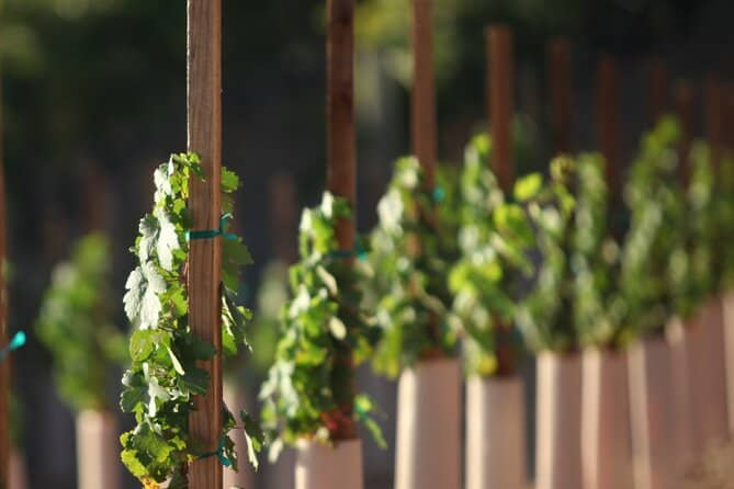 Vines you and your husband might see on your tour of paso robles wineries