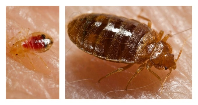 How To Prevent Bed Bugs - Nymph and Adult Bed Bugs