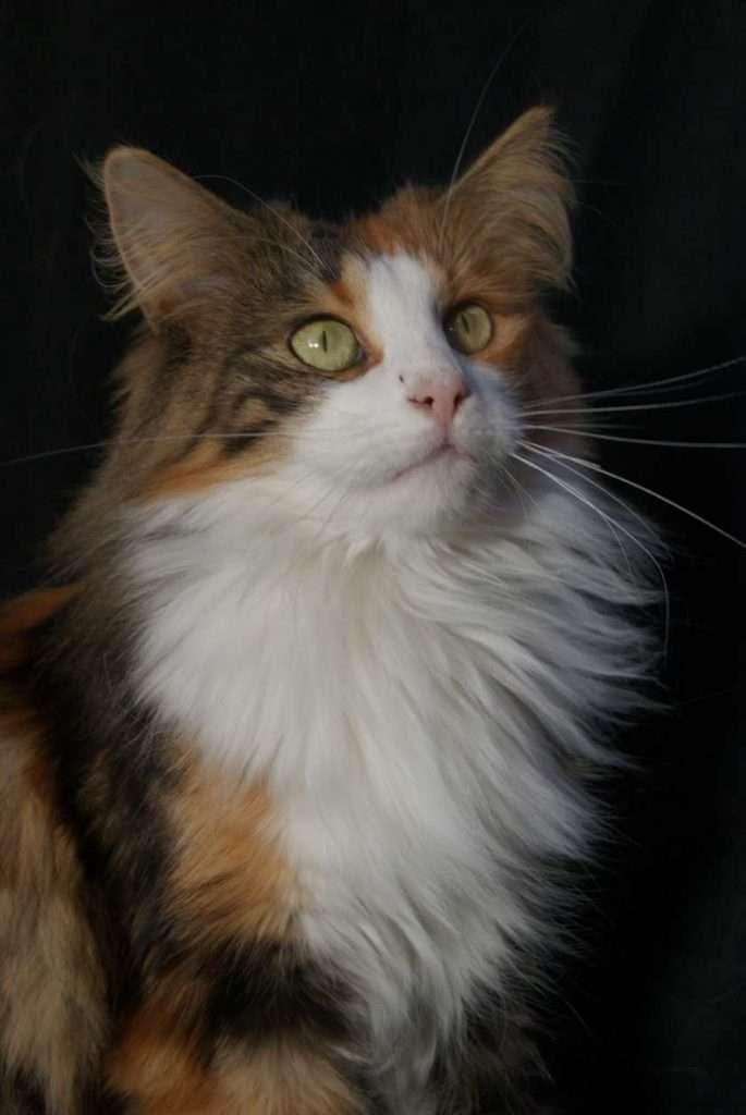 Noorse boskat | Grootste kattenrassen