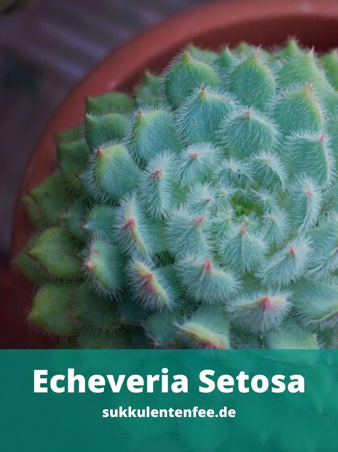 Die Echeveria Setosa ist eine Sukkulente.