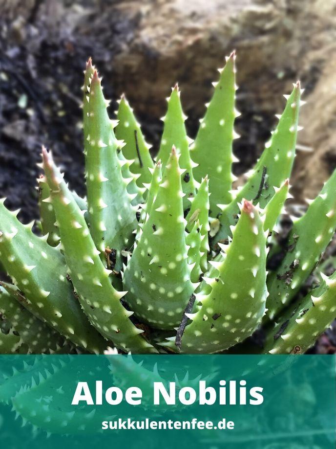Die Aloe Nobilis ist eine schöne Sukkulente für dein zu Hause.