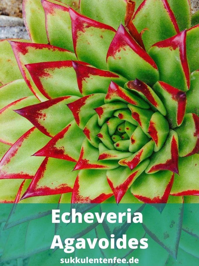 Die Echeveria Agavoides ist eine immergrüne Sukkulente.