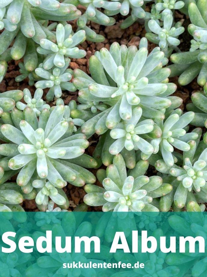 Sedum Album ist eine winterharte Sukkulente.