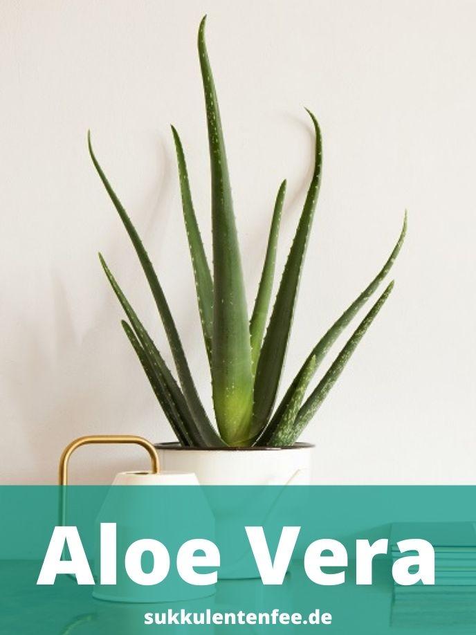 Die Aloe Vera ist eine Heilpflanze.
