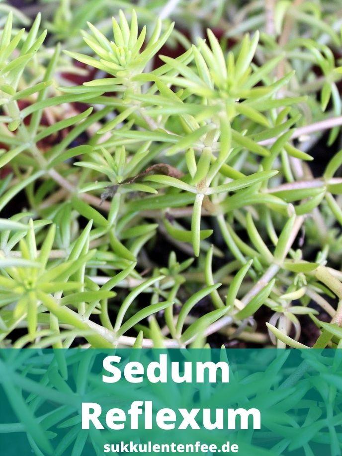 Das Sedum Reflexum ist eine Sukkulente.