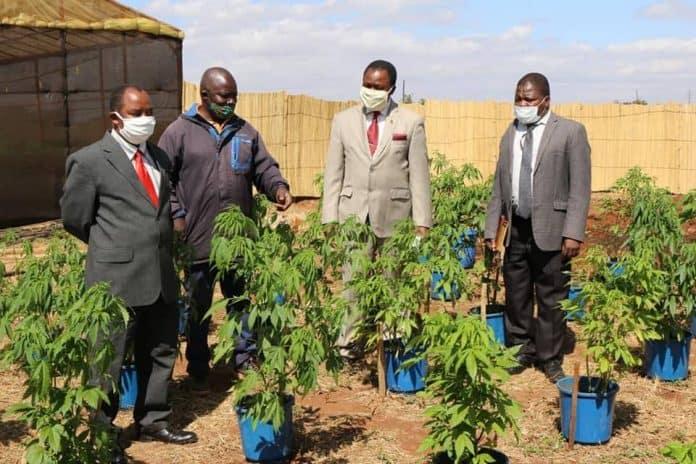 malawi cannabis