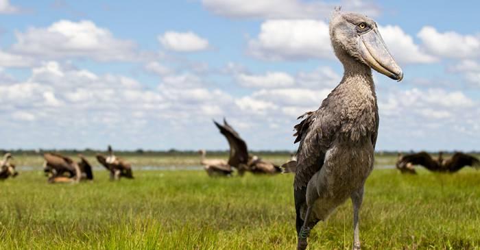 Pasărea sabot ucigașul silențios din mlaștinile Africii