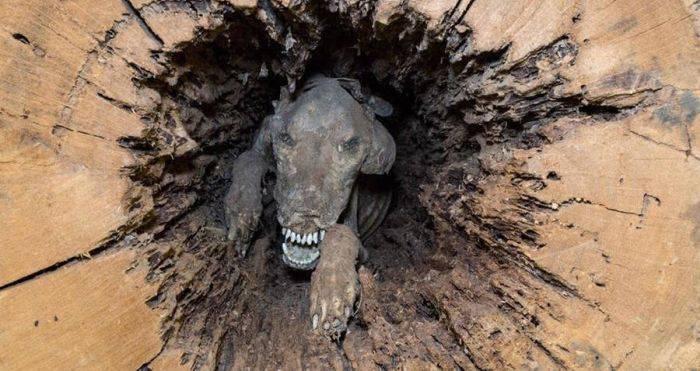 câinele mumificat