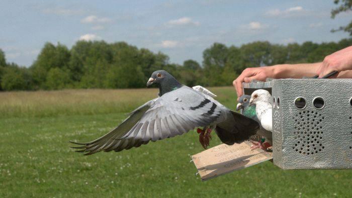 Curiozitati despre porumbei 01