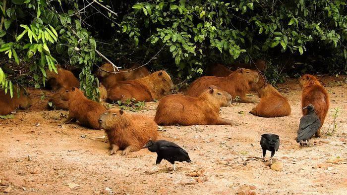 Grup de capibara