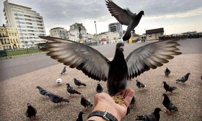 Curiozitati despre porumbei 02