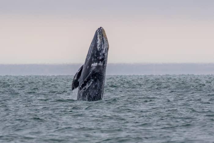 Balene in Mediterana 01