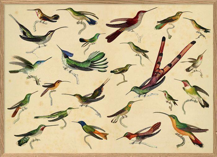 dybdahl hummingbirds