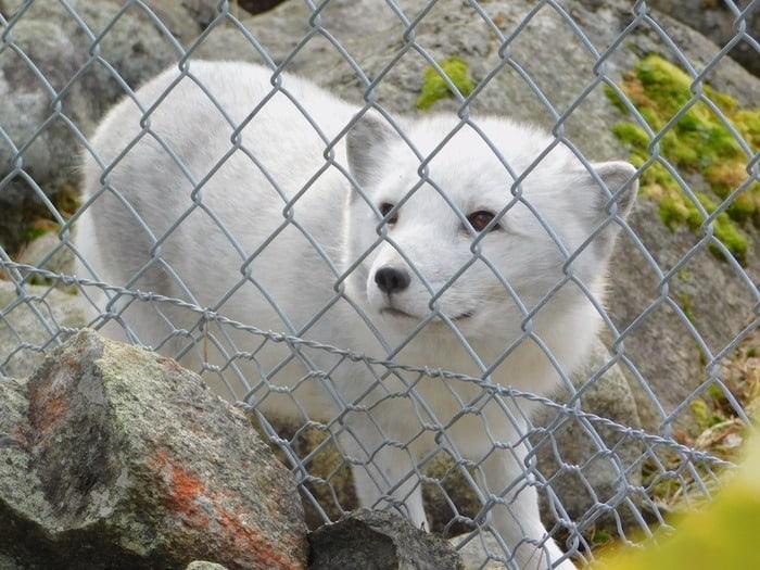 An arctic fox at ranua wildlife park