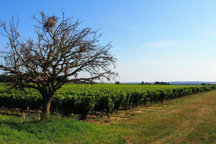 vigne saumur aoc vin rouge vin blanc isabelle suire été arbre