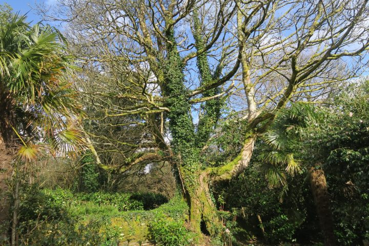 Alter Baum in Glendurgan, Cornwall