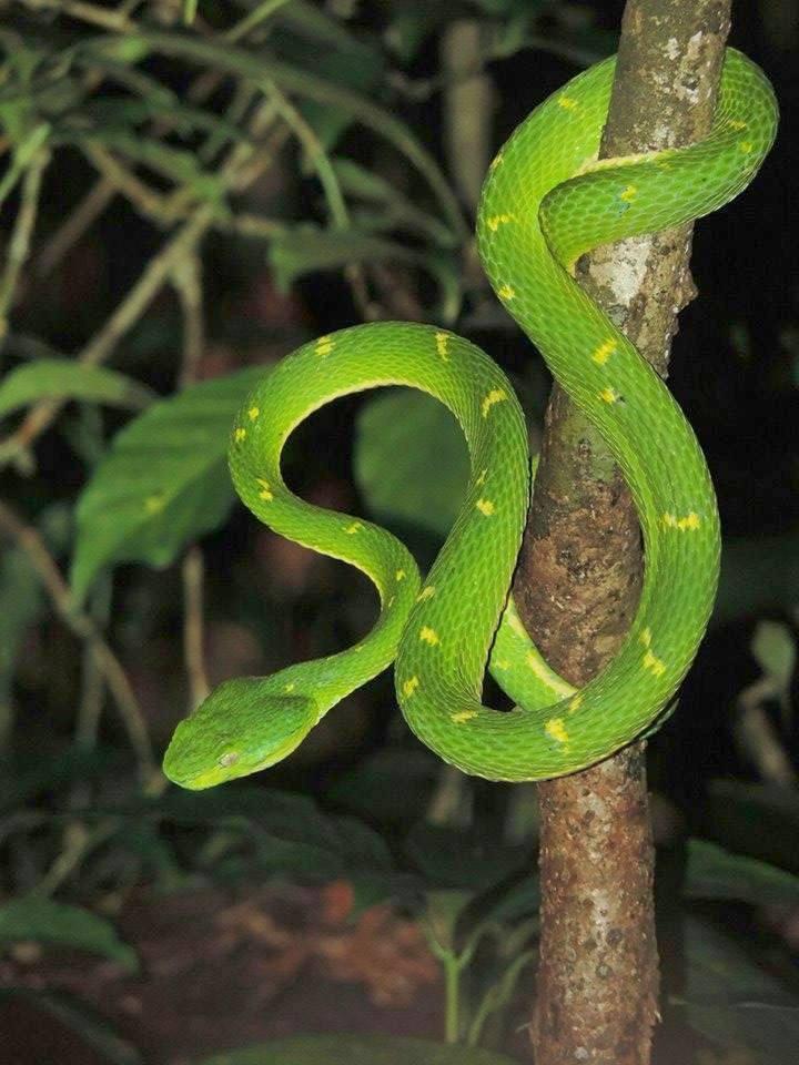zelený krasavec