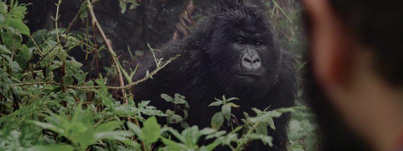 mountain-gorilla-trekking (1)