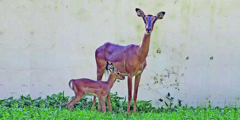 Bangladesh National Zoo New Member in Impala's Family