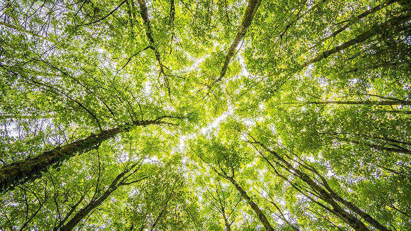 Bätterdach eines Waldes von unten fotografiert
