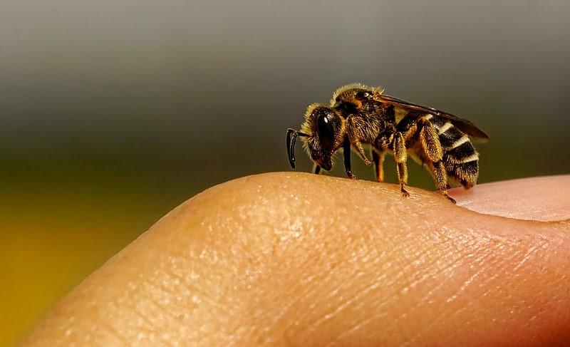 Honey bee on the skin