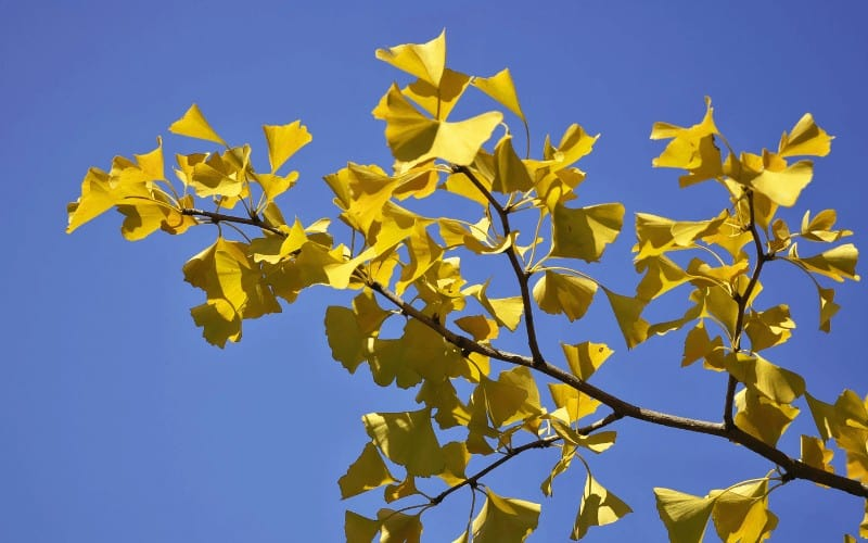 What Is Special About Ginkgo Trees