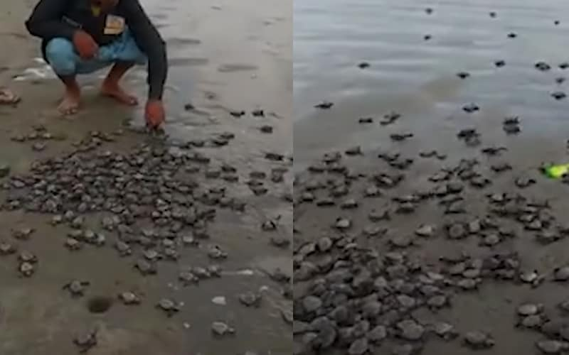 About 7000 baby turtles released into the Sea by the Mother Bonia Turtles Conservation Centre of Bangladesh