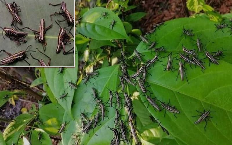 The insects seen at Teknaf, Bangladesh are not locusts, but grasshoppers