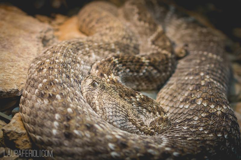 snake at living desert zoo