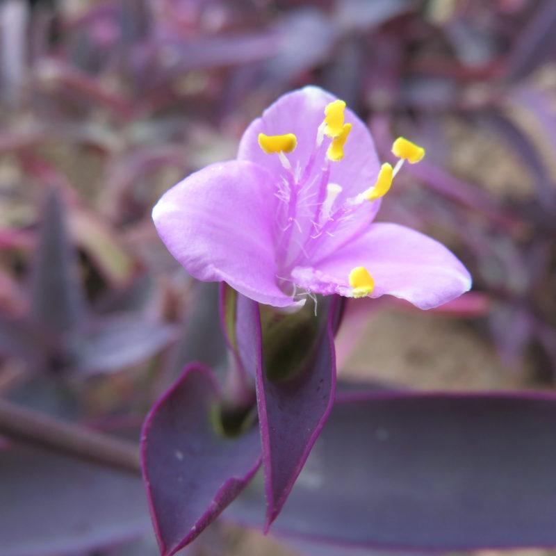 Sectrasea purpurea, sin. Tradescantia pallida 'Purpurea'