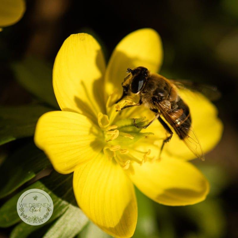 wildbienenfreundlich Winterling Eranthis hyemalis