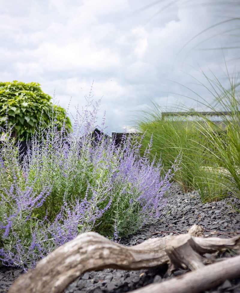 Blauraute im sonnigen Garten