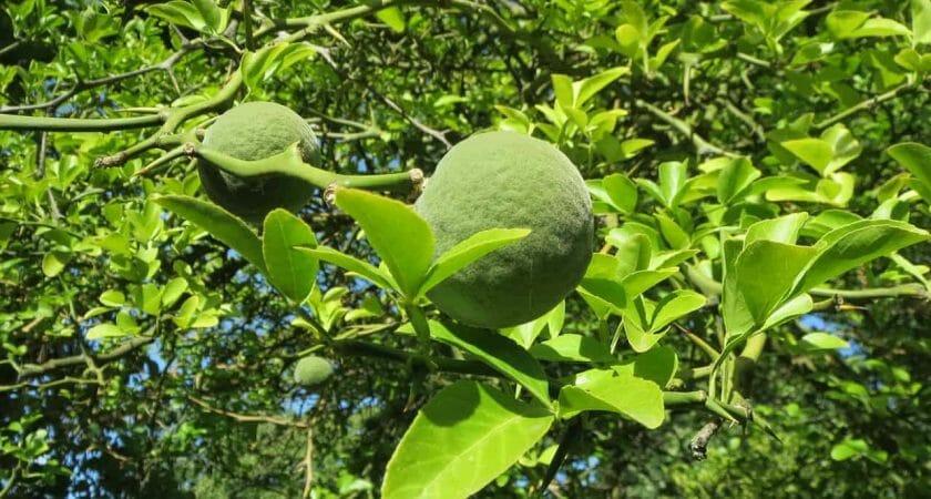 citrus trifoliata 848768 1280
