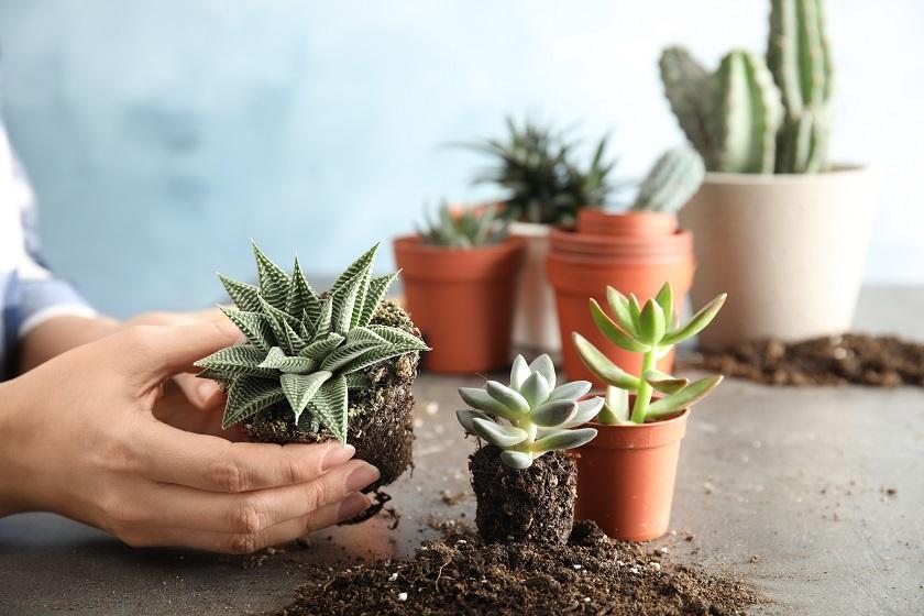 Neue Sukkulenten erhält man in Plastiktöpfen und muss sie zuerst umtopfen.