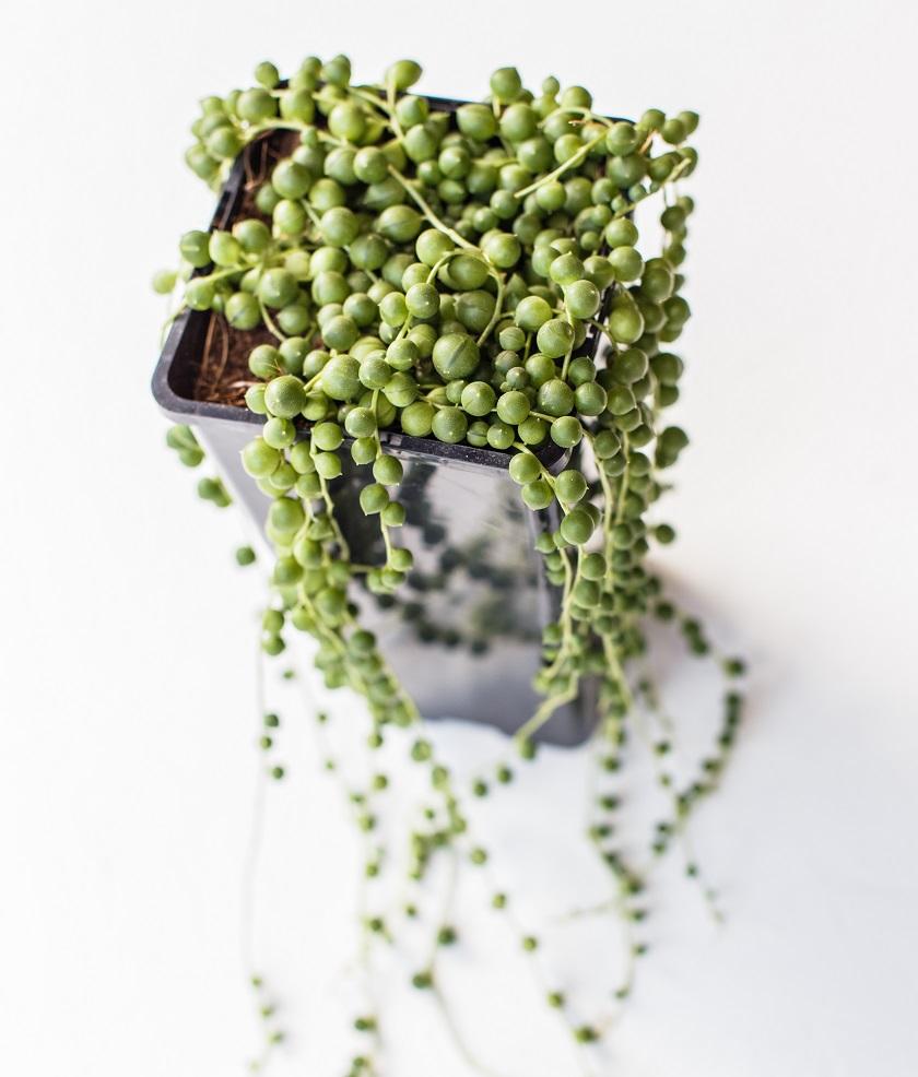 Die Erbspflanze wird auch string of pearls genannt.