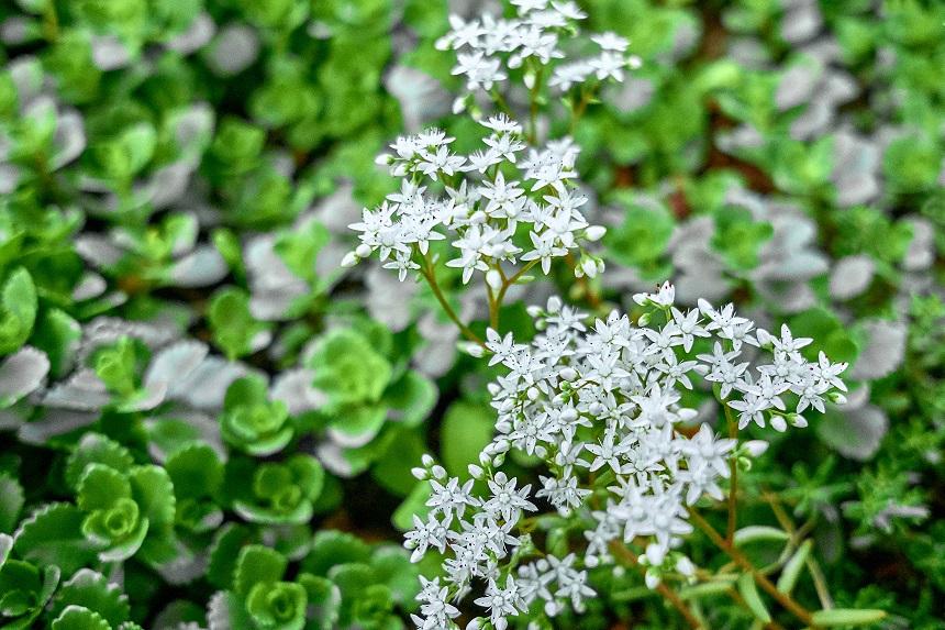 Sedum Album hat weiße Blüten.