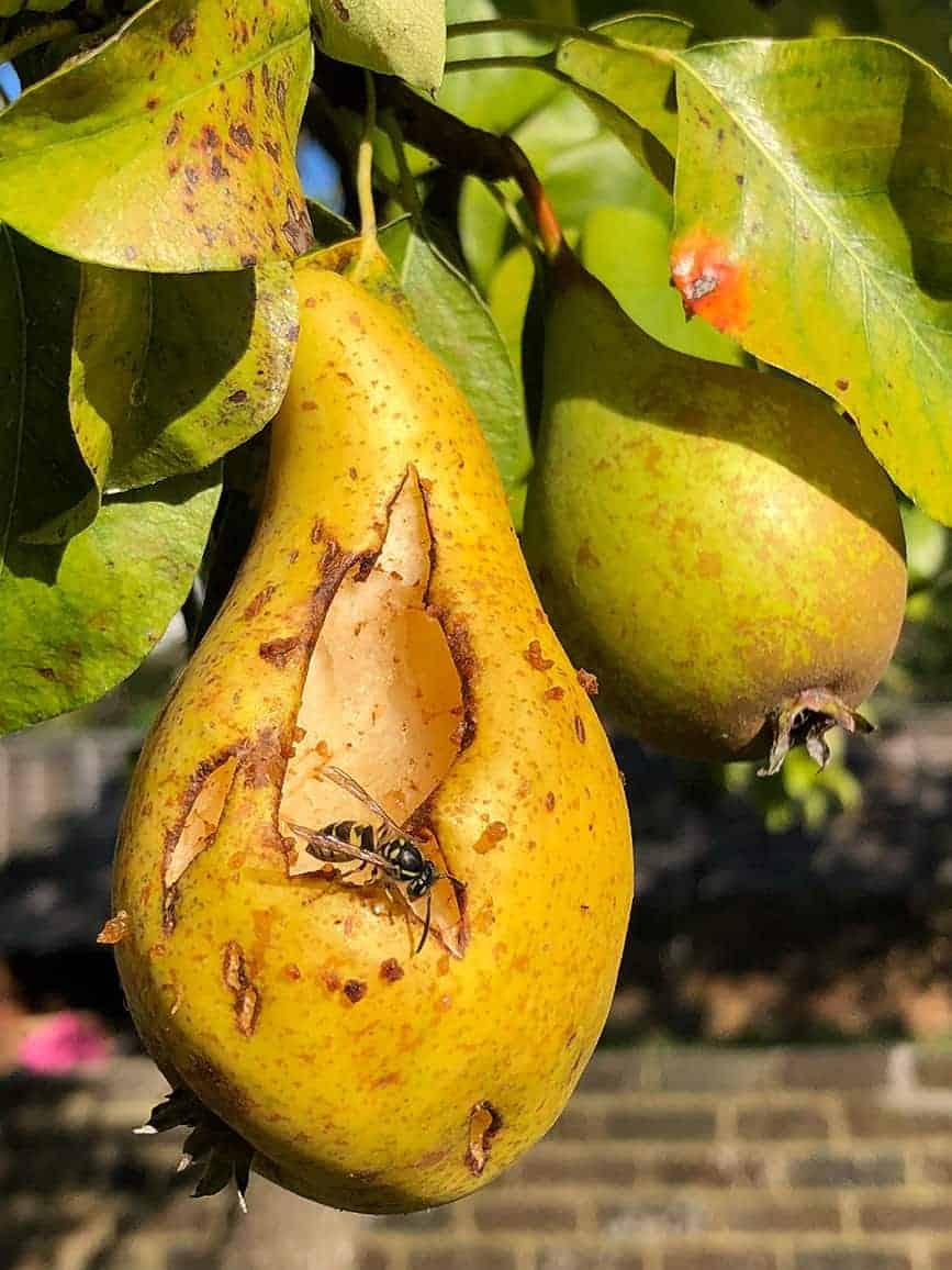 Pear-Garden-Wasp