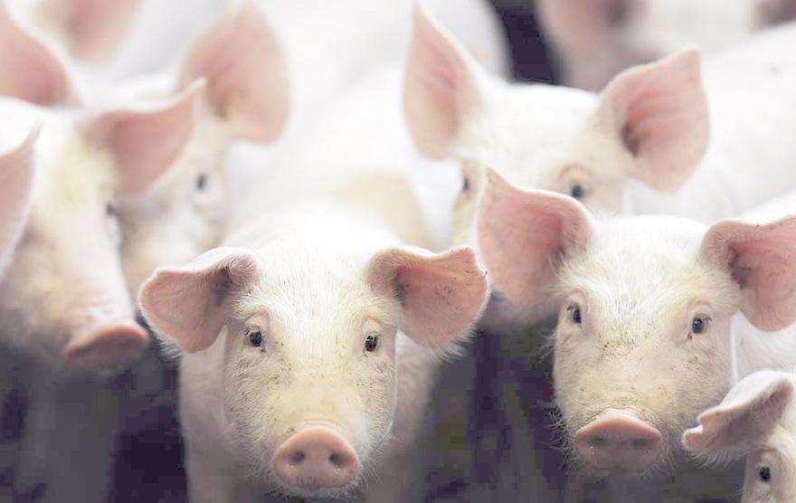 Antibiotiques élevage