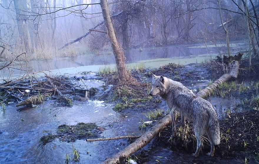 Loup à Tchernobyl