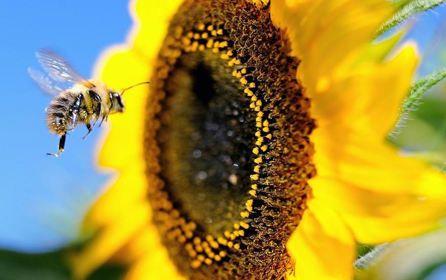 déclin abeilles