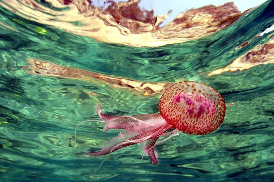 Le réchauffement des océans bénéficie à la prolifération des méduses