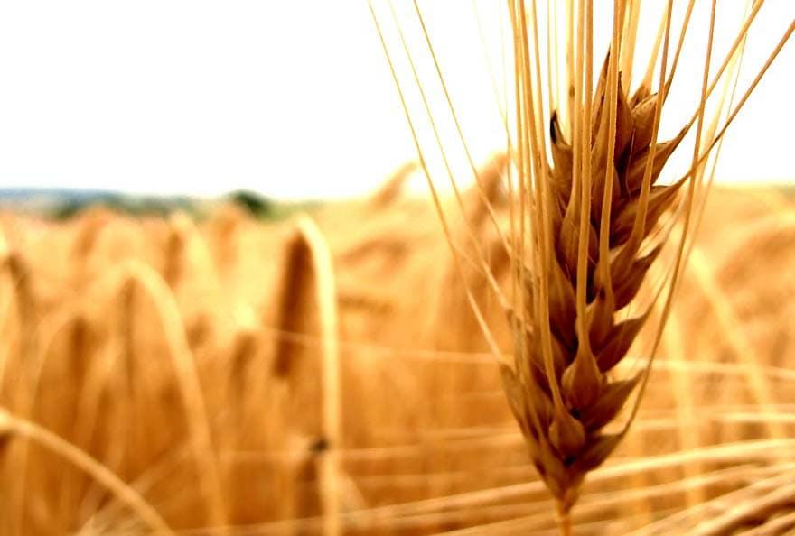 blé - agroalimentaire