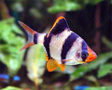 bentuk ikan sumatra
