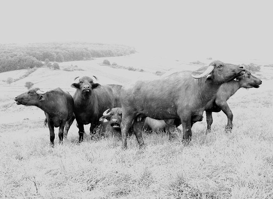 Pascolo di mandria di Bufale campane produttrici di latte