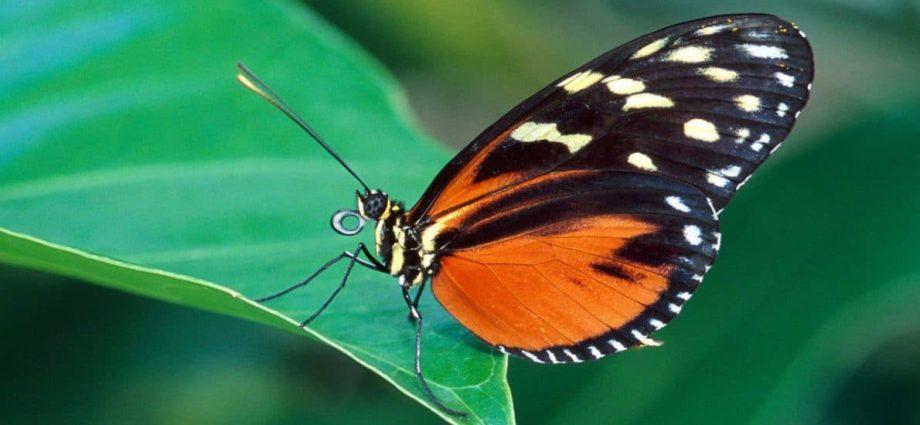 farfalla-Butterfly