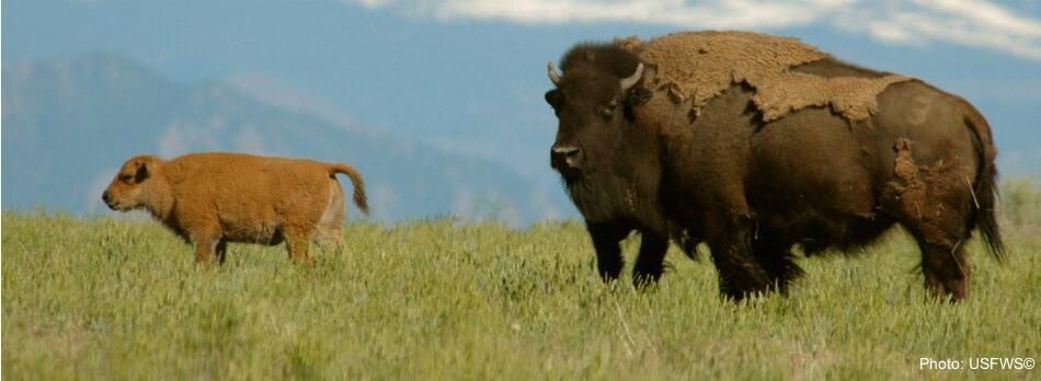 buffalo roaming at the rocky mountain arsenal refuge