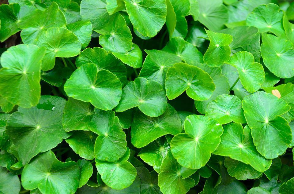 Pennywort vietnamese herbs