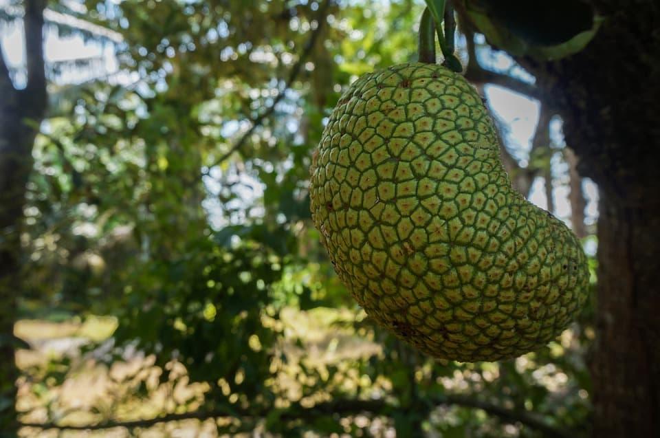 cempedak weird exotic fruits