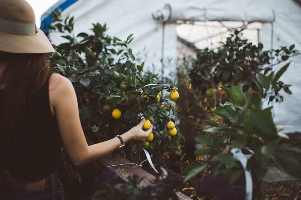 picking fruits